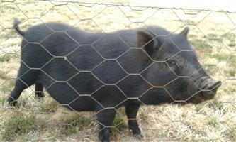 Pot Belly Pigs for sale