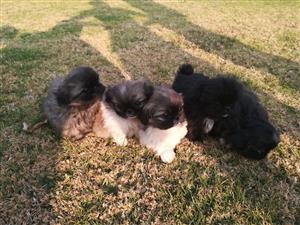 Beautiful pekinese puppys