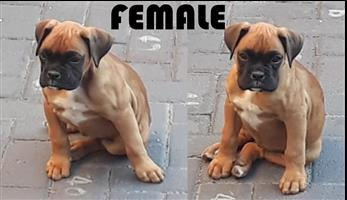 Pure Bred Boxer Puppies For Sale