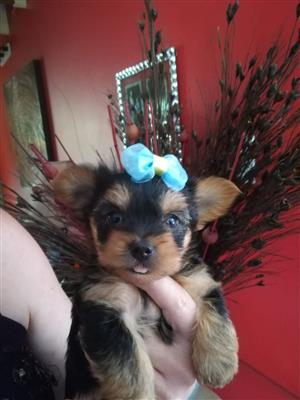 Beautiful Yorkies, males for sale