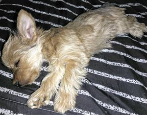 Small yorkie female for sale