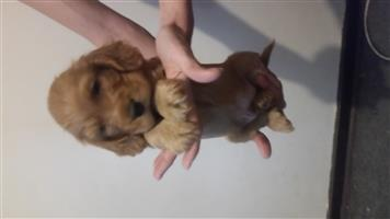 Cokerspaniel puppy