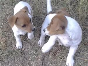 JACK RUSSELL pure breed PUPPIES