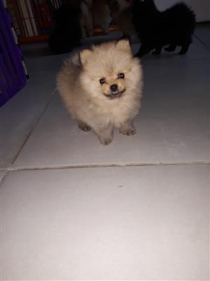 Toy POM's Pomeranian pups miniatures