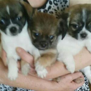 Mini Pekingese X Pug