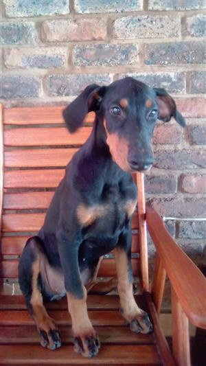 4 month old Dobermann