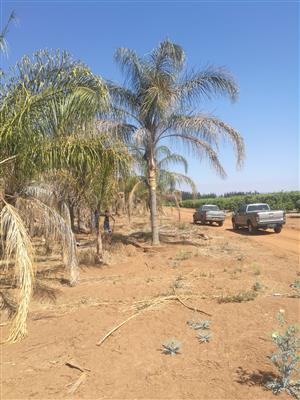 Cocus Palms, Driehoek Palms and Cycad Revolutas