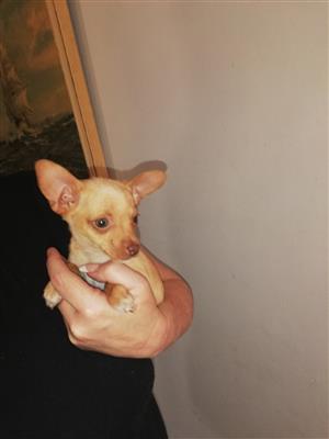 miniature pincher female pups.