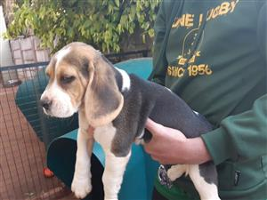 Beautiful Healthy Pedigree Beagle Puppies