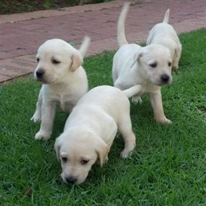 Golden Labrador Puppies