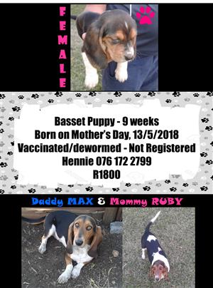 Basset Puppy available