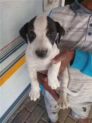 Jack Russell / Fox Terrier Puppies