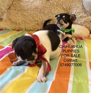 APPLEHEAD CHIHUAHUA PUPPIES