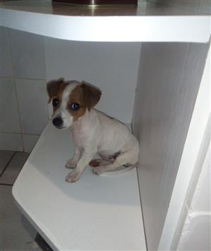 Female jack russel puppy for sale