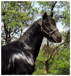 Stunning fresian gelding