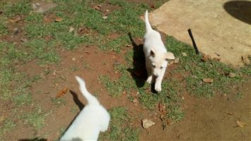 Swiss shephard puppys for sale