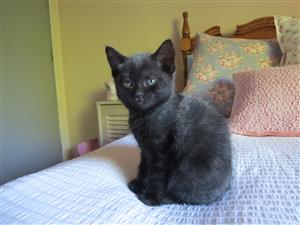 Female kitten available