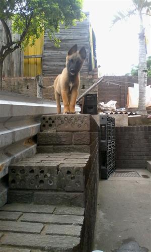 Purebred Belgian Shepherd Pups