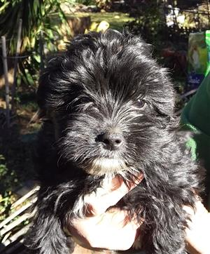 Morkie male for sale
