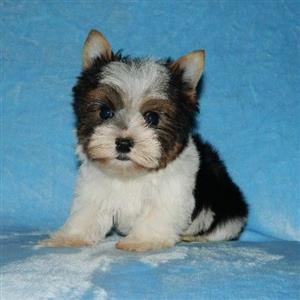 Biewer male puppy