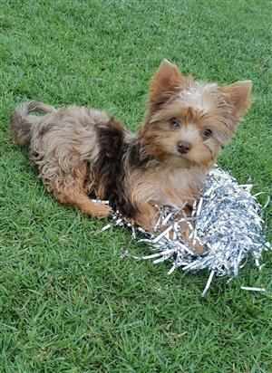 Chocolate Merle Yorkie puppy