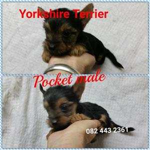 Pocket Yorkies