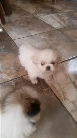 Pikkangese Puppies