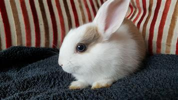 Beautiful baby Jersey wooly/Netherland dwarf rabbits for sale