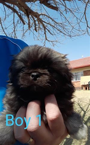 Male pekingese puppy