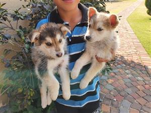 Sebrian Husky puppy