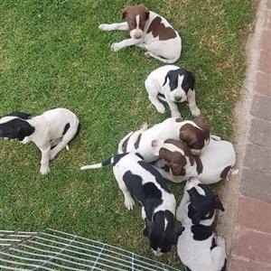English pointer puppies
