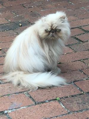 Lost Persian Cat - Reward