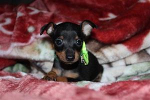 Miniature Pinscher (Bokkie Hondjie) puppies for sale