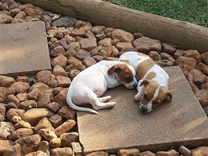 Jack Russell puppies from registered parents.