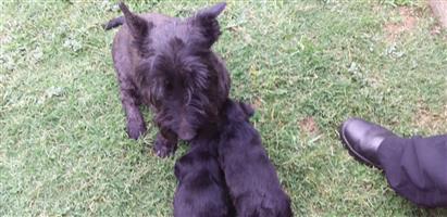 Scotties Terrier