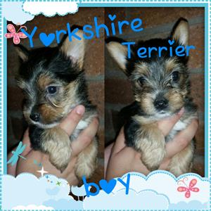 Yorkshire Terrier pocket girl