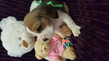 Beagles KUSA REGISTERED