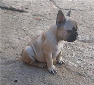 French Bulldog reuntjie tekoop