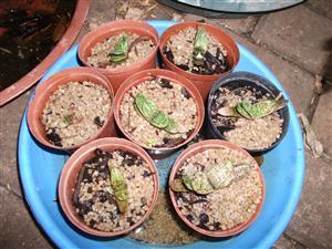 Partridge aloe plantjies GRATIS