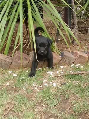 Husky /lab puppys