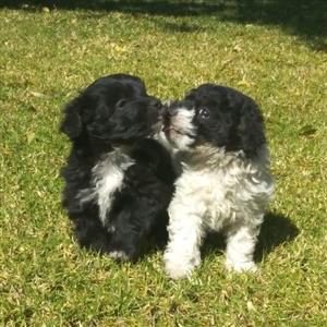 Maltese poodle mini puppies