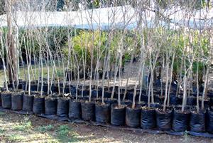 White Stink Wood  trees