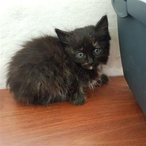 Persian × Domestic kittens