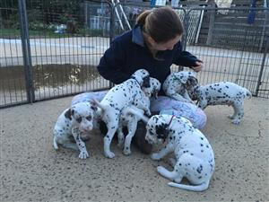 Sweet & spotty Dalmatian puppy's