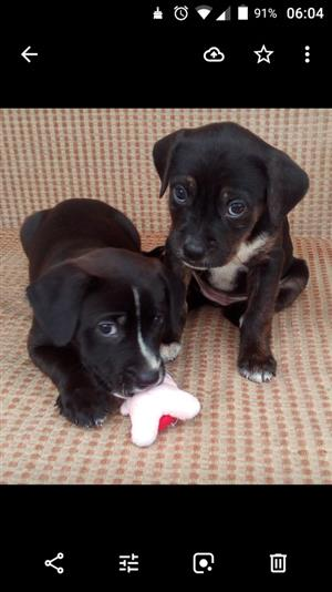 Bargain!.Labrador cross Boston Terrier puppies for sale.