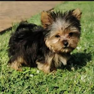 Smallest Teacup Yorkie puppy Very Healthy