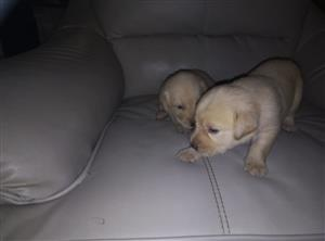 Pedigree labrador puppies