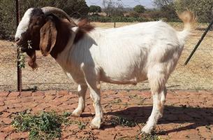 Boer Goat Rams for Sale
