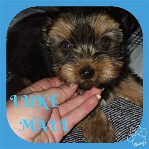 Registered Miniature Yorkshire TerrierMale