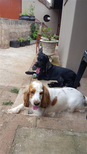 Spaniel pups for sale